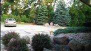 Лисица се разхожда в двор !