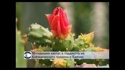 90-годишен кактус е гордостта на Ботаническата градина в Балчик