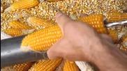 Най-оригиналният метод за ронене на царевица!!!
