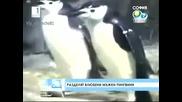 Мъжки пингвини се влюбват