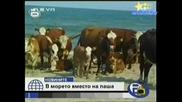 Господари На Ефира - Крави Се Пекат На Плажа! 18.07.2008