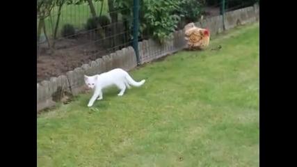 Коте дразни кокошка
