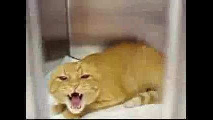 Много ядосана котка-смях