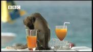 -смях- маймуни алкохолици крадът коктеили на плажа