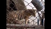Намериха шест тигъра на покрива на жилищна сграда в Тайланд