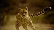 Това е причината да не може да се надбяга на Cheetah