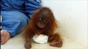 Тъжната история на орангутанчето Джош останало сирак!