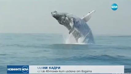 УНИКАЛНИ КАДРИ: Заснеха как 40-тонен кит изскача от водата