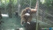 Маймуна надува сирената