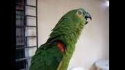 Папагал пее опера:смях!!!