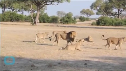 Dentist Who Killed Cecil the Lion Faces Calls for Prosecution