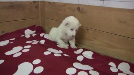 бяло лъвче дебютира в Сърбия зоопарк..
