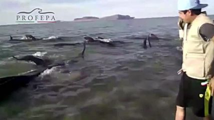 Mexico: 24 beached whales die by shoreline despite rescue efforts