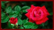 ... Червени рози ...