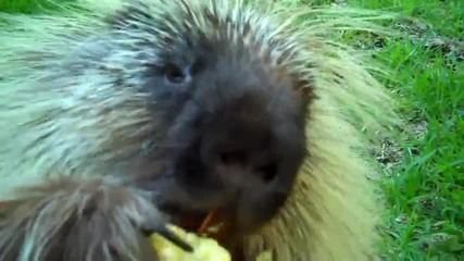 Бодливо Свинче Издава Смешни Звуци Когато Се Храни