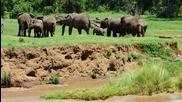 Възрастни слонове помагат на малко слонче да премине през река