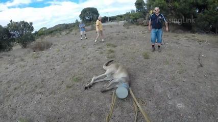 Хора помагат на кенгуру, което си е заклещило главата в лейка