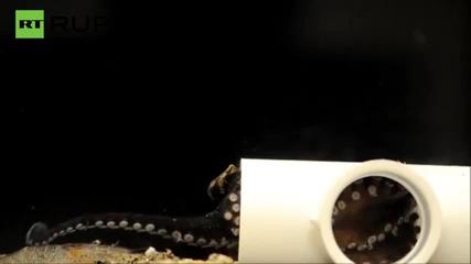 Гладен октопод хваща и изяжда скарида