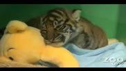 Бебе тигър.