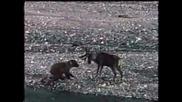 Страшен бой между елен и мечка!!!