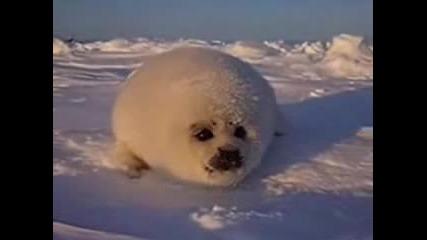 Сладко Бебе Тюлен