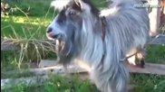 Смешни кози - Компилация