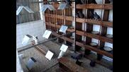 Гълъбите на Сашо Бръсков от Труд