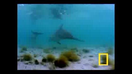 Прекрасният танц на делфините...