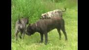 Dogo Canario Meeting Norway