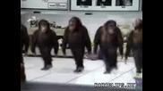 Маймуни Тамцуват Ирландски Танц