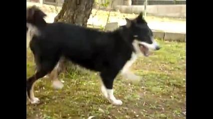 Сладки кучета-две бордърколита и лагото романьоло