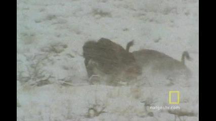 Ловна тактика на вълците