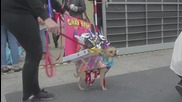 Spain: Dogs play dress-up for Canine Carnival in Gran Canaria