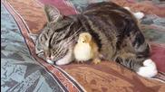 Приятелство между пиленце и котка.