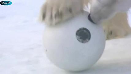 Полярни мечки се забавляват с поставените скрити камери върху морските ледове