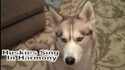 Сибирски Хъскита Пеят В Синхрон