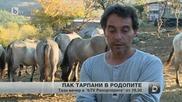 30 диви коне тарпани ще бъдат пуснати на свобода в Родопите
