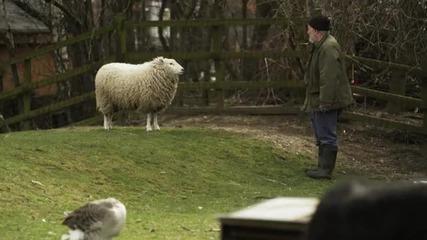 Превод от животински език - Овца