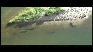 Сомове ловят гълъби на сушата /епично видео/