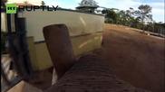 GoPro камера показва как слон играе с ръгби топка