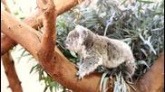 Бебе коала се гушка в майка си:)