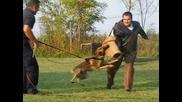 Трениране на Белгийска овчарка (малиноа)