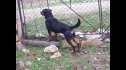Beautiful Rottweiler - Tori
