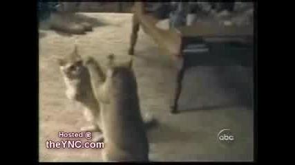 Две Котки Си Мислят Че Се Виждат В Огледало