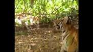 какво прави една Откачена Маймуна, когато види на територията си Два Тигъра!