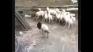 Вожда плаши стадото.