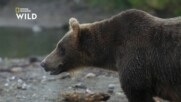 Какво прави Камчатка перфектния дом за кафевите мечки