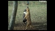 Инати Питбули се борят за въжето