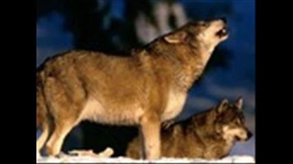 вълците бяс 2