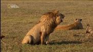 Заразителен смях на лъв :d